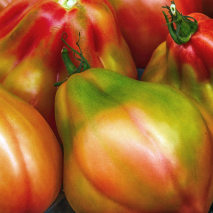 Graines de Tomate « Canestrino » x10